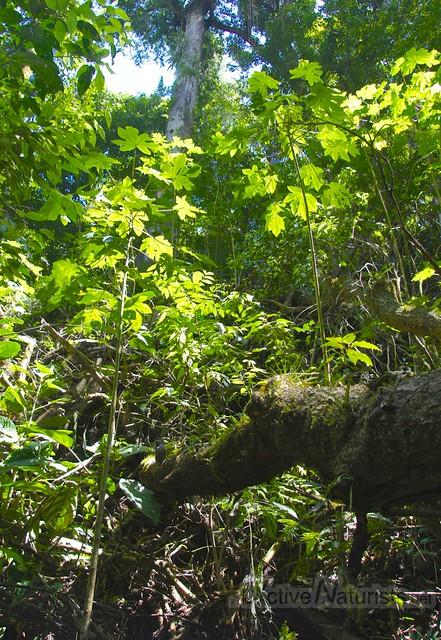 papaya 0012 Palenque, Chiapas, Mexico