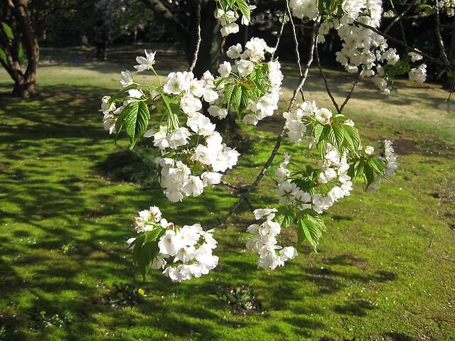 Shinjuku Gyoen Cherry Blossom
