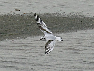 LittleGull Larus minutus North Cave Wetland, East Yorkshire May 2011