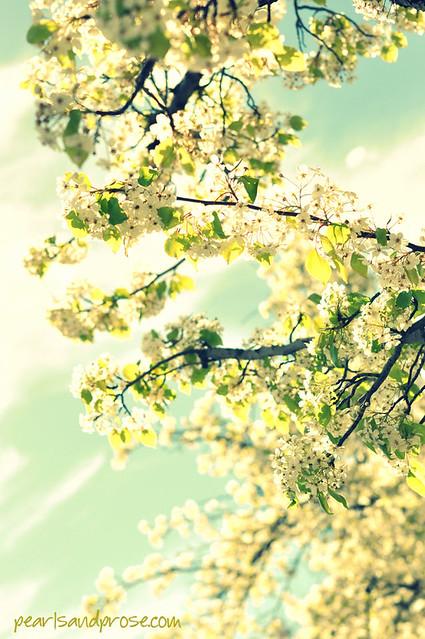 pear_blossom_xpro_web