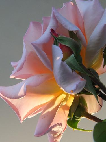 Fragrant Hour Rose_0011.jpg by Patricia Manhire