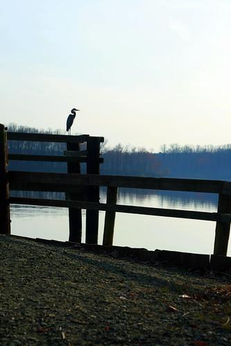 Heron, Lum's Pond State Park