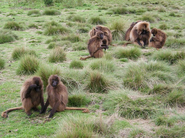 Babuinos gelada (Theropithecus gelada)