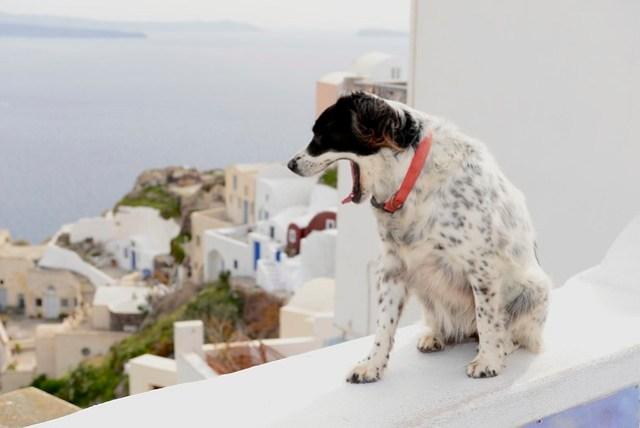 從土耳其進入希臘後,路上的貓變少了,狗變多了,(當然,狗屎也變多了)。感覺聖托里尼的狗兒也喜歡看海,會跳上圍牆、凝視遠方,冬天的愛琴海雖然颳風,但海面上也只有一些小碎波,岸上也不見大浪,相對還是平靜,只是天色會稍微暗沉些。