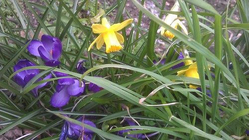 Crocus 'Giant Ruby' meets some Narcissi