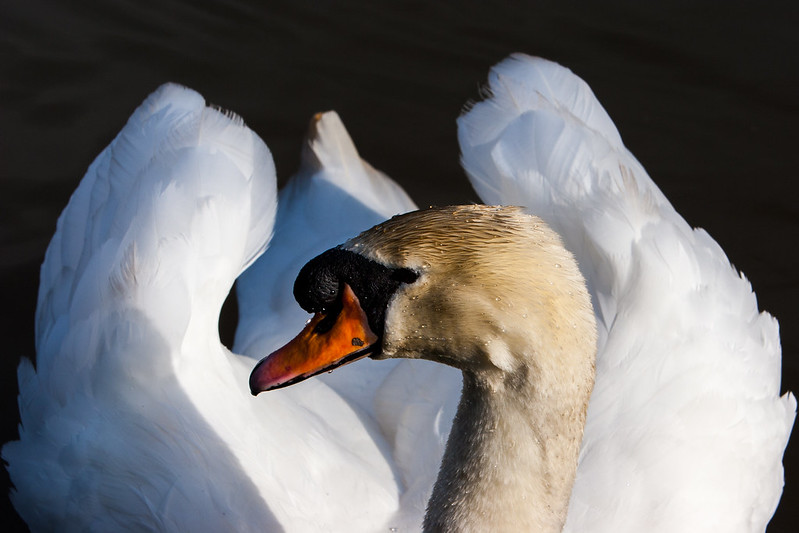 Cob (Male Swan)