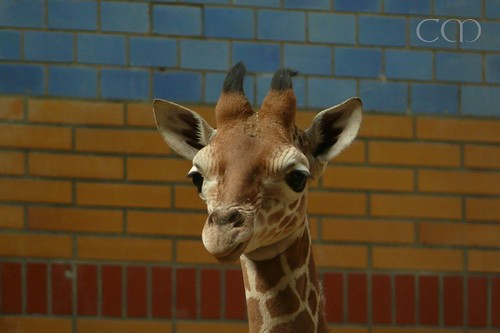 Giraffe kid with lovely brick colors..
