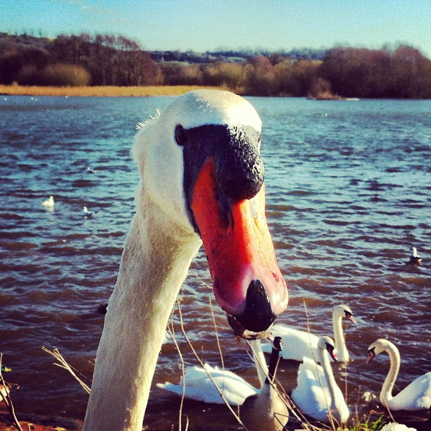 Feeding the swans at Herriot's Pool