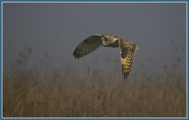 Short Eared Owl in the mist
