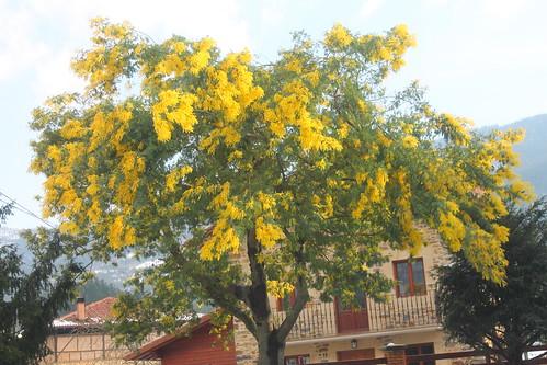 Mimosa #DePaseoConLarri #Photography  14