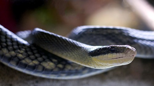 Blue Beauty Ratsnake