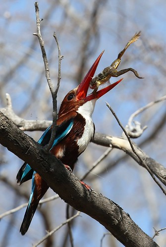 White-throated Kingfisher, Ranthambore, India by Olivier DELAERE