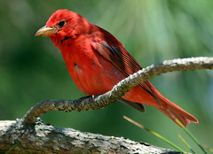 Spring Morning Summer Tanager