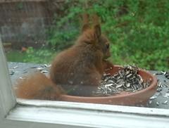 Junges Eichhörnchen 2