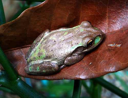 Frog: SOUTHERN LEOPARD  (?)