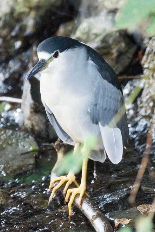 _DSC4003 Black-crowned night heron