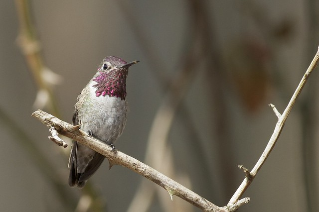 The immature male hummingbird in Newark, Delaware on April 1st. (Photo by Tom Johnson)