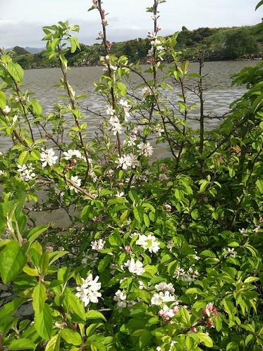 Mud flats apple blossoms Albany Bulb