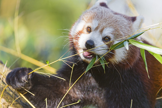 All Cute Wallpapers Cute Red Panda Eating Ii Flickr Photo Sharing