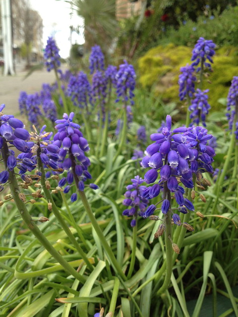 Purple grape hyacinth flowers