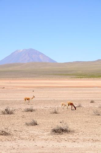 Vicuñas grazing