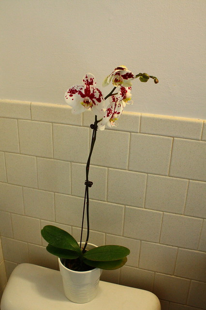 Orchid (phal)