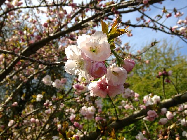 Kew cherry blossom - Prunus Hokusai