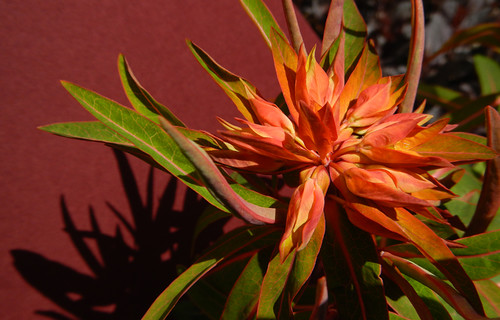 Euphorbia Red Bloom