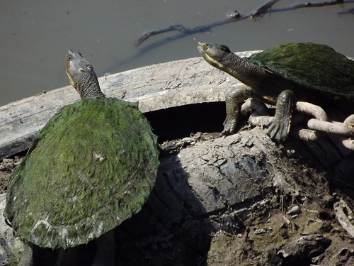 Eastern Long-necked Turtles