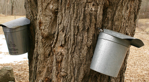Catching sap in metal buckets