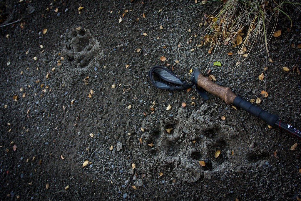 When coming down from the Pizarras ridge, we encounter these huge puma tracks around our left behind packs. Los Glaciares National Park. Patagonia. Argentina.