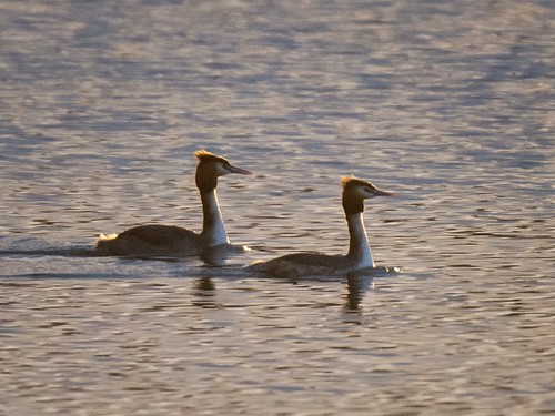 Great-crested Grebe pair