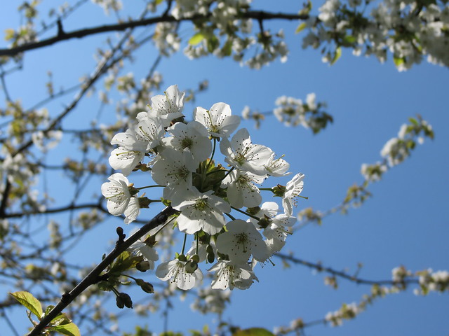 Cherry blossom in Castle Park, Bristol