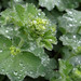 lady's mantle finery