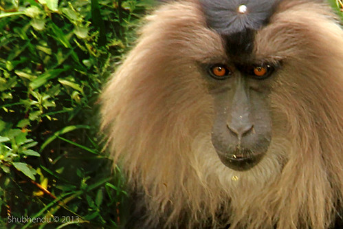 Lion Tailed Macaque Monkey by ShubhenduPhotography