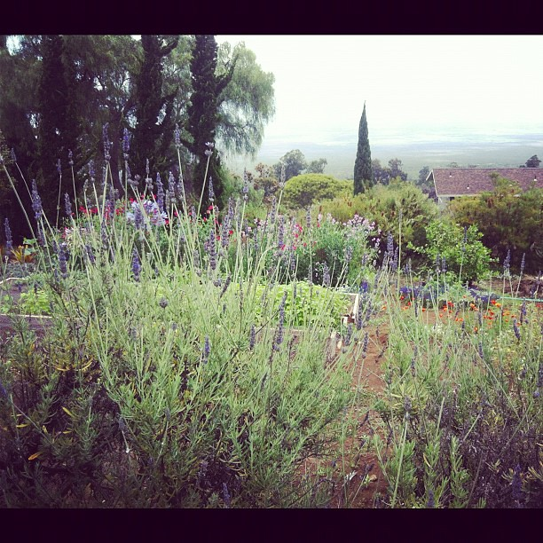Behind the lavender you can see the coast. #wow #beautiful #hawaii #maui