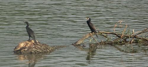 Cormorants by bill kralovec