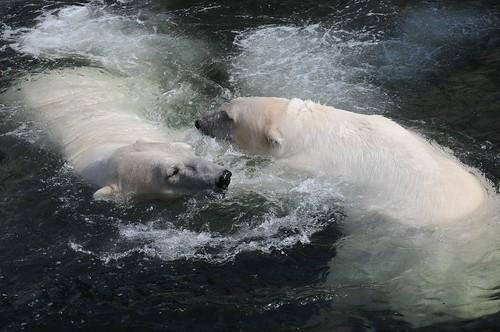 Eisbären Boris und Noel im Zoo Kopenhagen