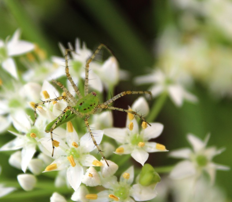 Chive Spider