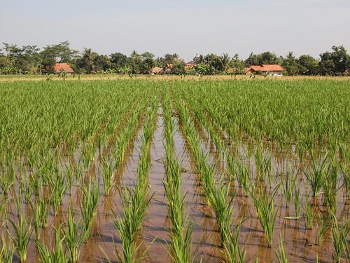 215/366 - Rice field by Flubie