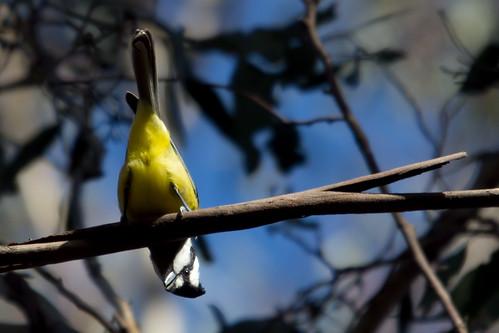 Crested Shrike-tit 2012-08-15 (_MG_2241)