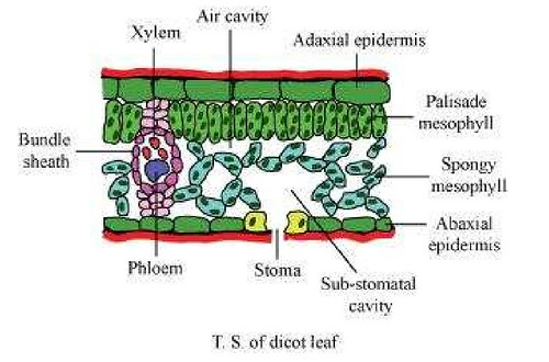 vascular plant diagram isuzu npr66 wiring ncert solutions class 11 biology chapter 6 anatomy of flowering plants | aglasem schools