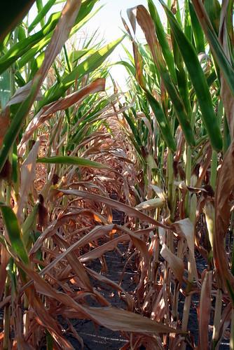 July Drought Corn