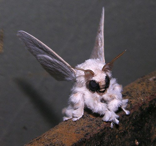 poodle moth photo