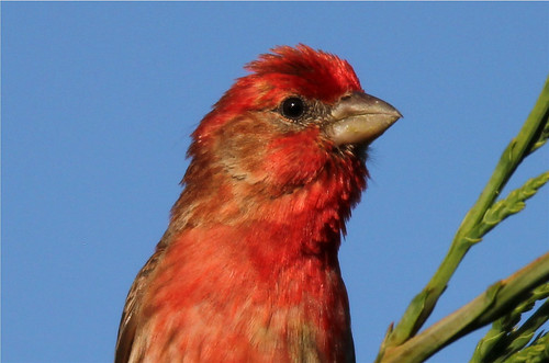 Carpodacus mexicanus ♂ (House Finch)