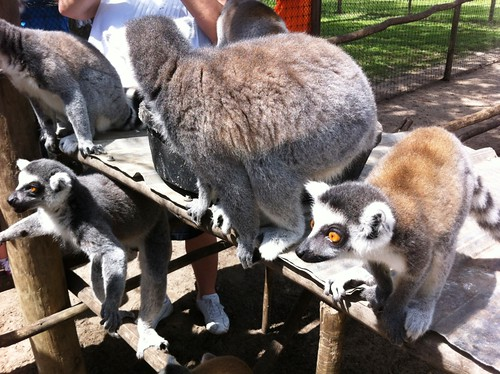 Ring-tailed lemurs Wait to be Fed, Giraffe Ranch, Dade City, Fla.
