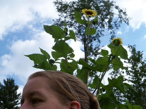 tall sunflowers