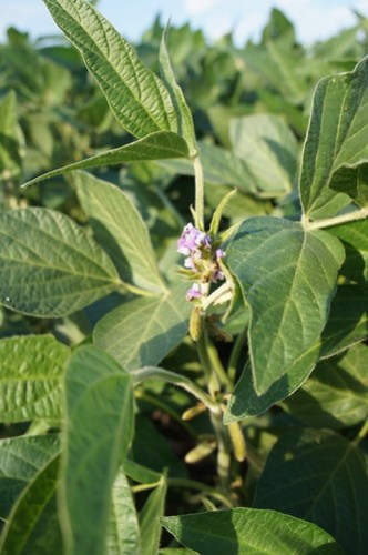 Soybeans still in bloom