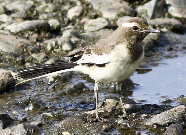 Juvenile Pied Wagtail