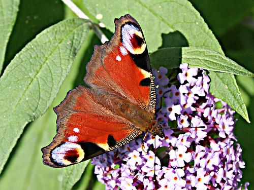 Peacock TLNR Aug 2012